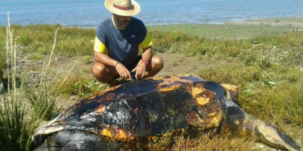Turtle found in Isla Canela (Ayamonte)